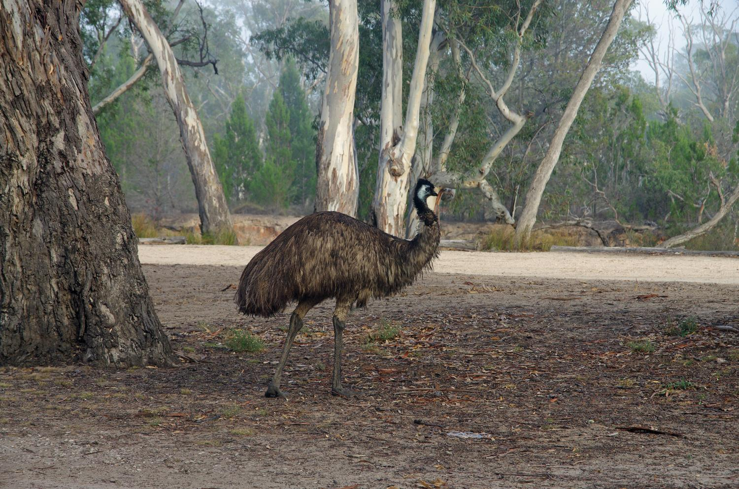 Emu Photo by Richard Lund