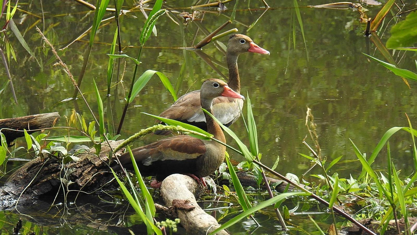 Black-bellied Whistling-Duck Photo by Julio Delgado