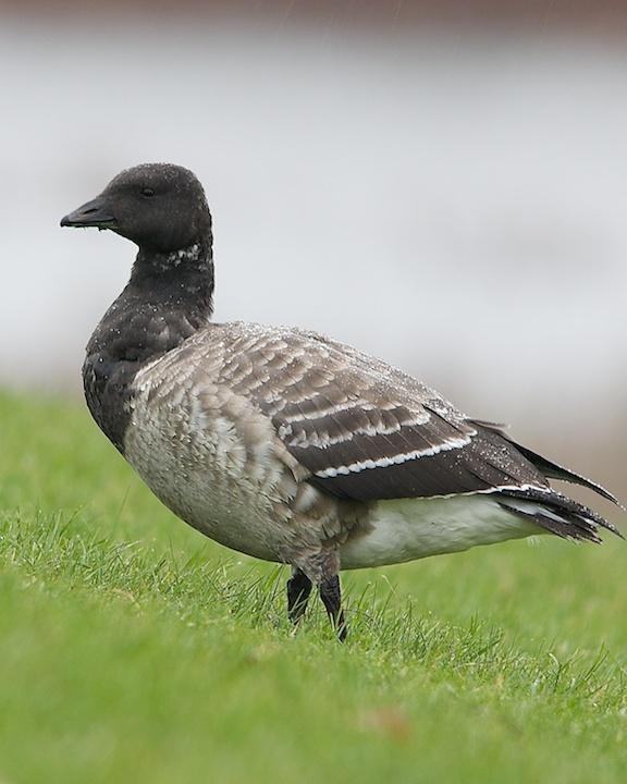 Brant Photo by Denis Rivard
