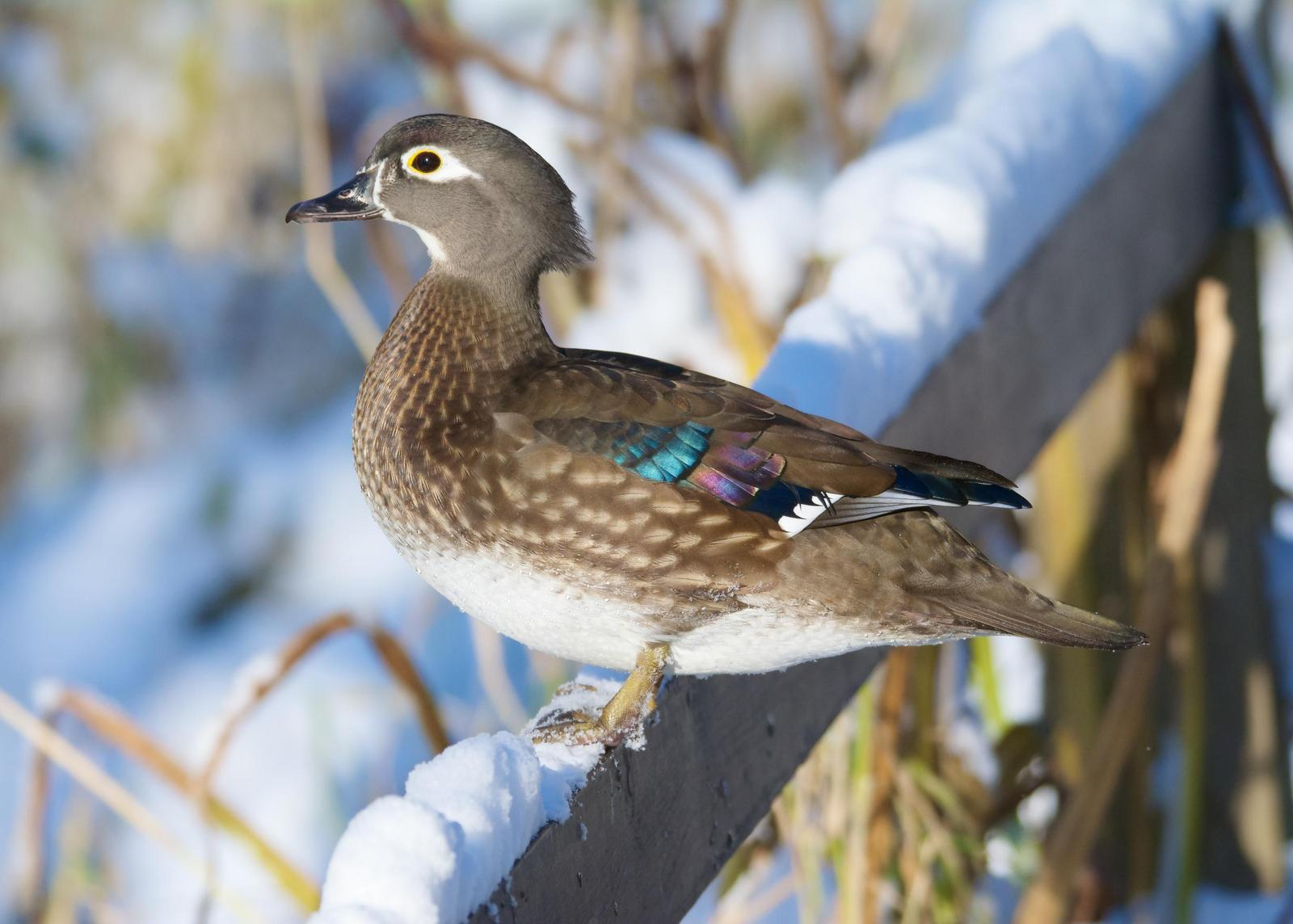 Wood Duck Photo by Brian Avent