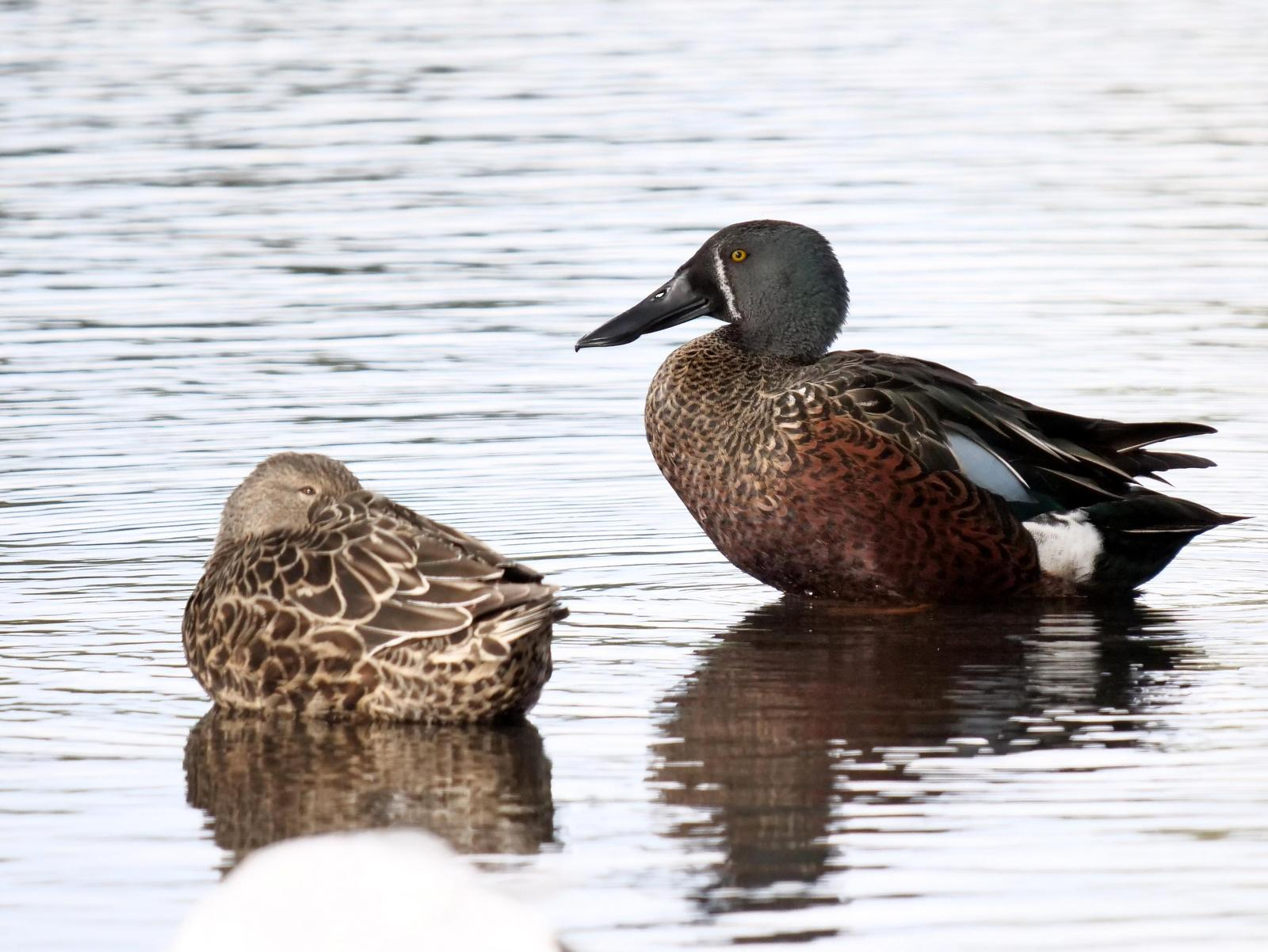 Australian Shoveler Photo by Peter Lowe