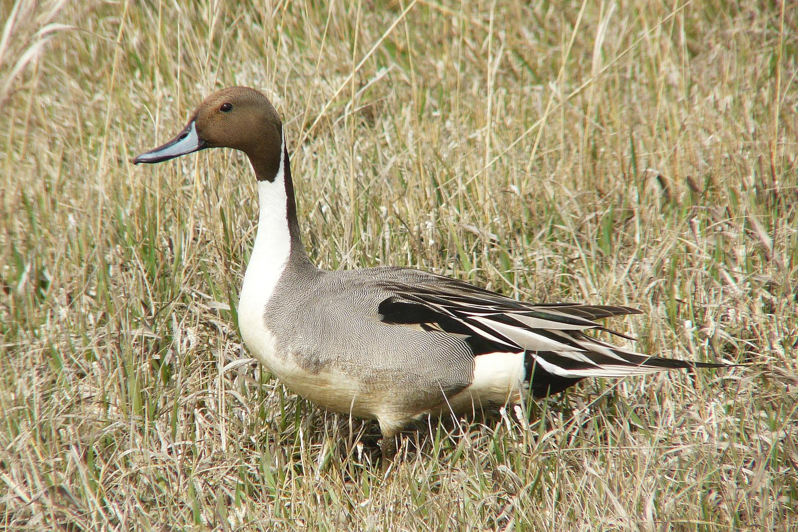 Northern Pintail Photo by Bob Neugebauer