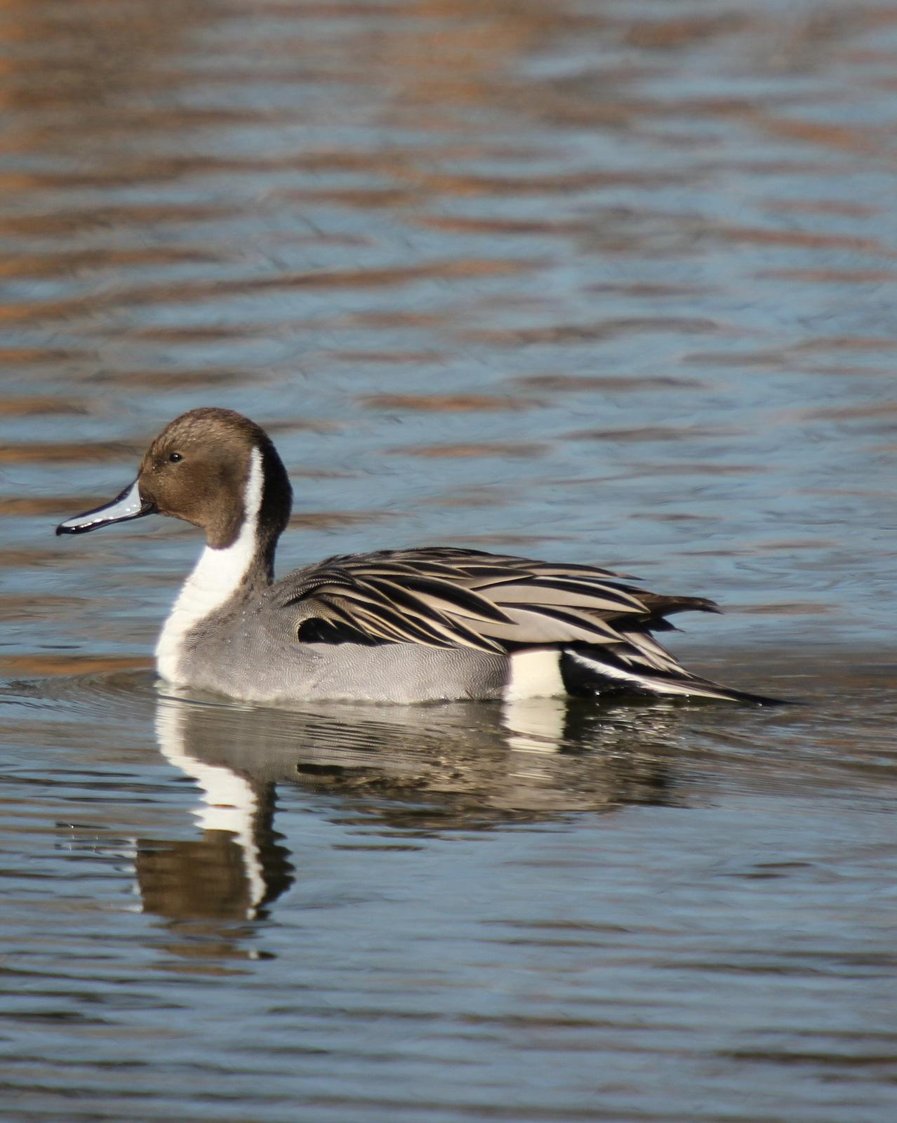 Northern Pintail Photo by Steve Valasek