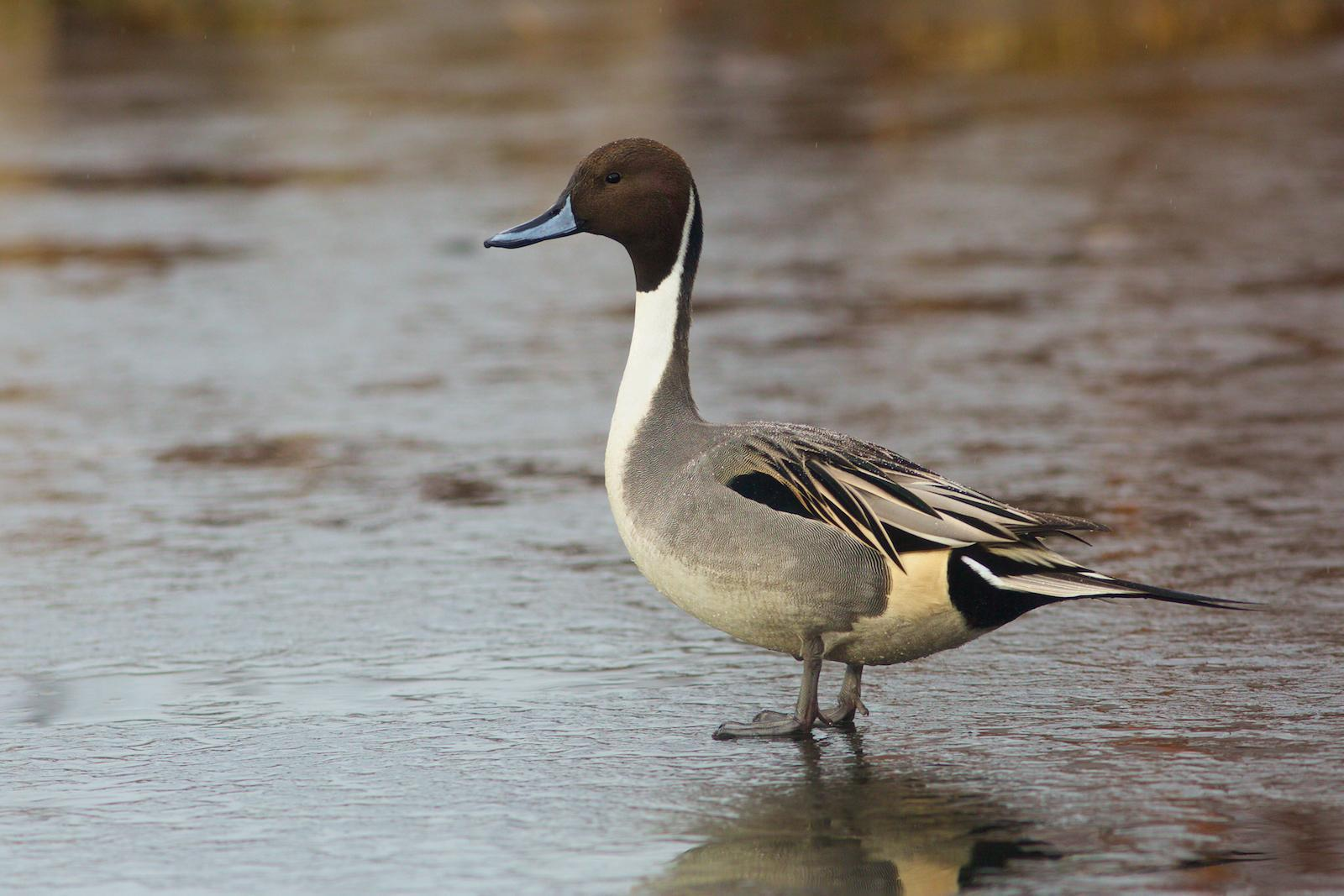Northern Pintail Photo by Robin Horn
