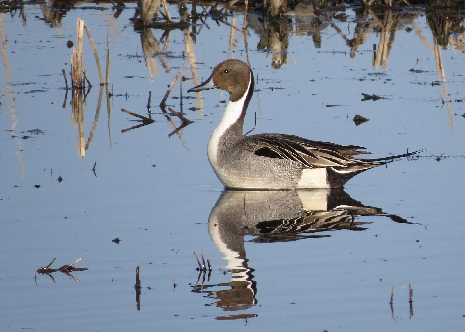 Northern Pintail Photo by Kelly Preheim