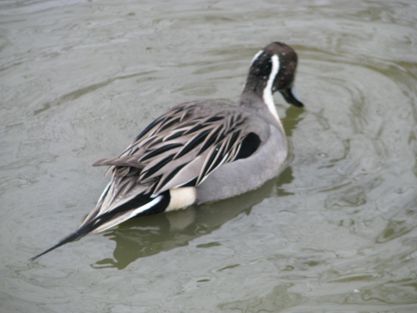 Northern Pintail Photo by Ted Goshulak