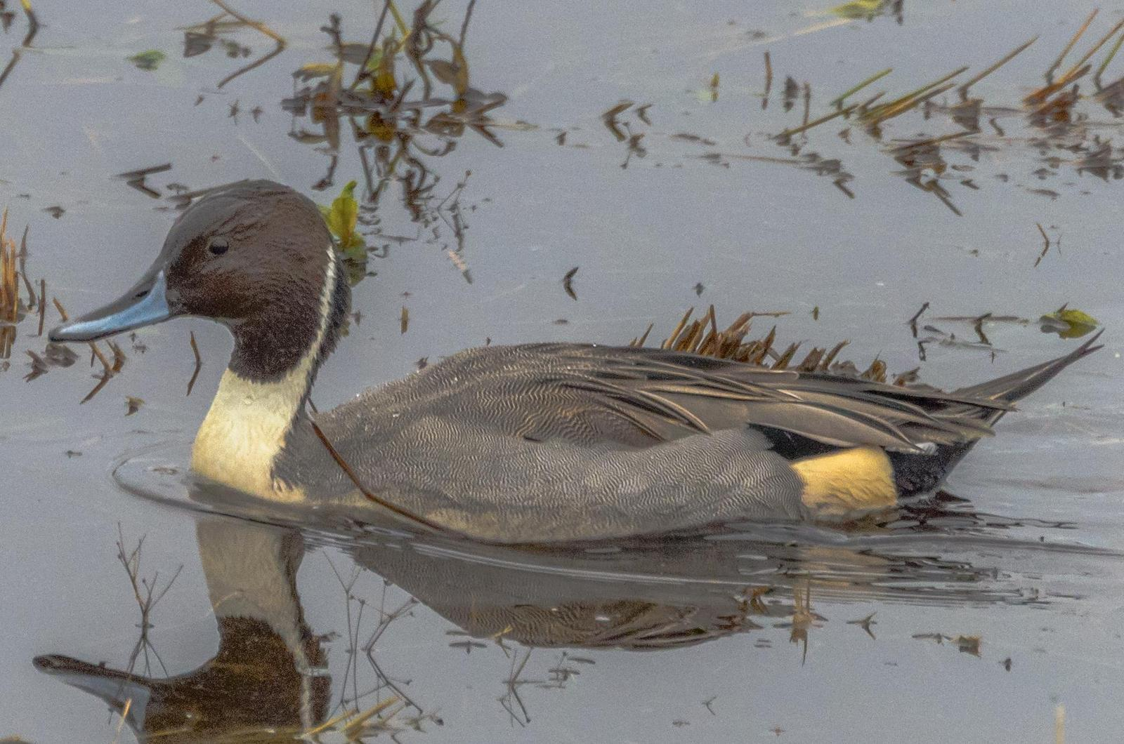 Northern Pintail Photo by Scott Yerges