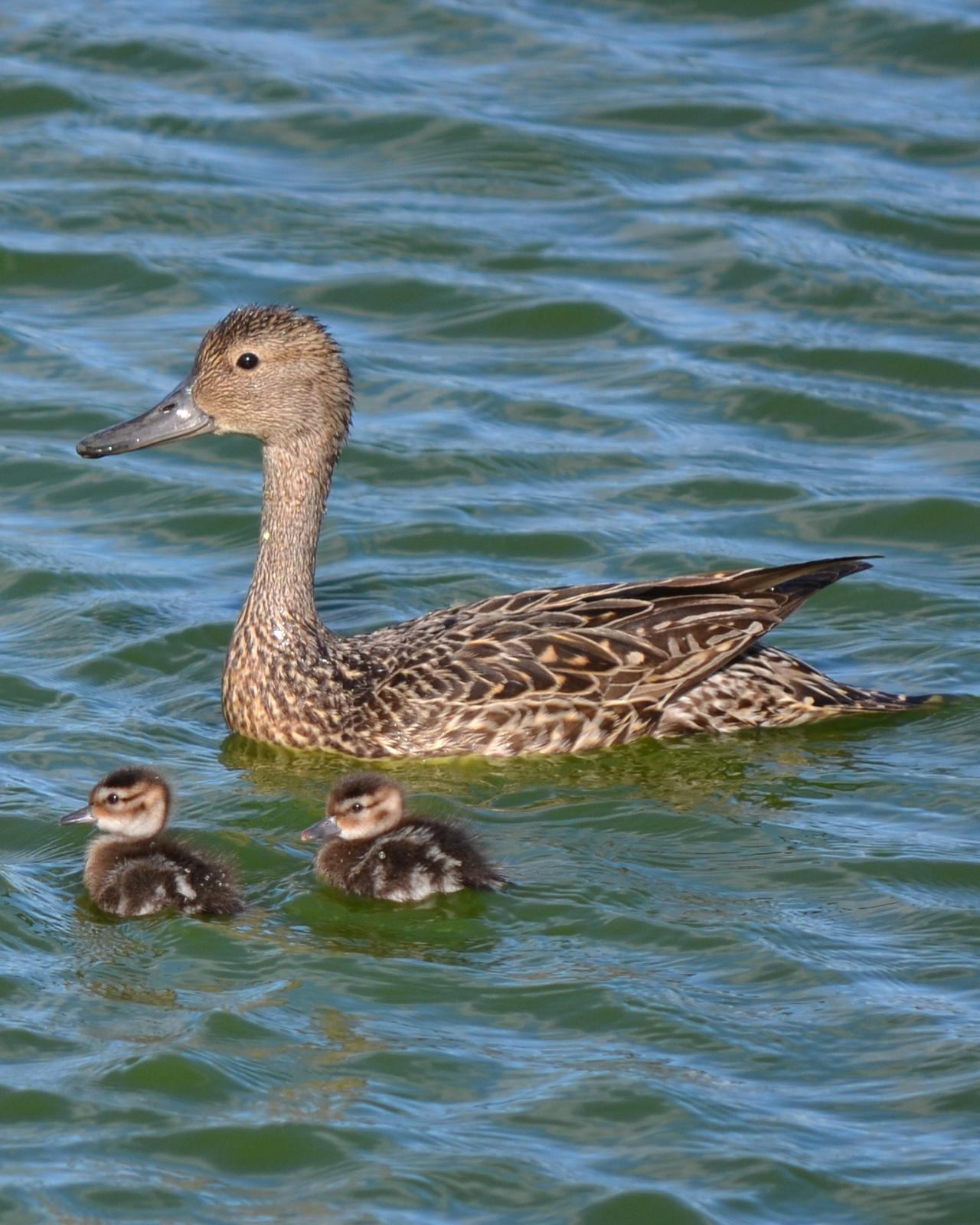 Northern Pintail Photo by Cédric Duhalde