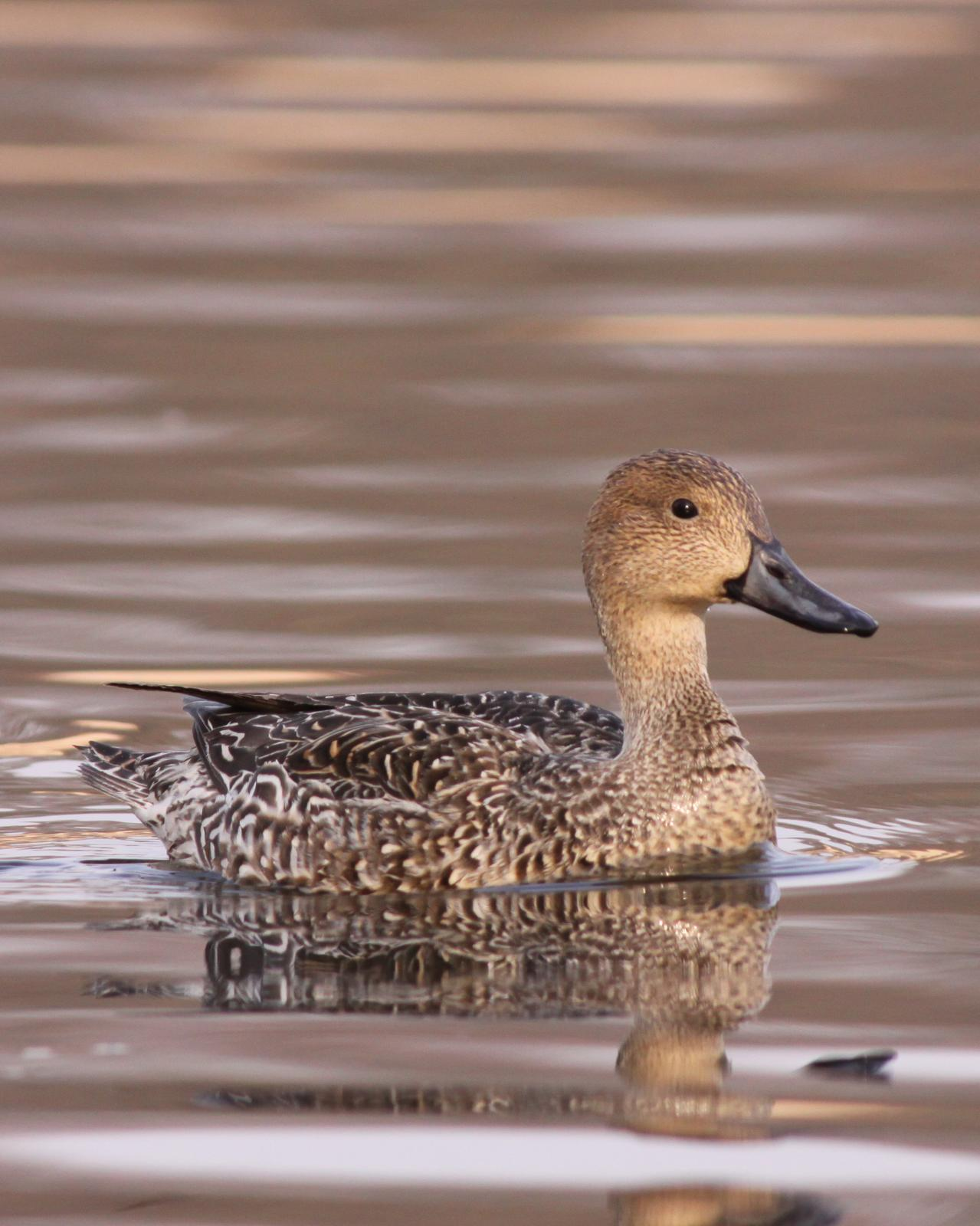 Northern Pintail Photo by Kasia  Ganderska Someya