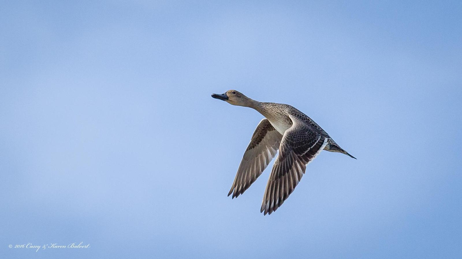 Northern Pintail Photo by Casey Balvert