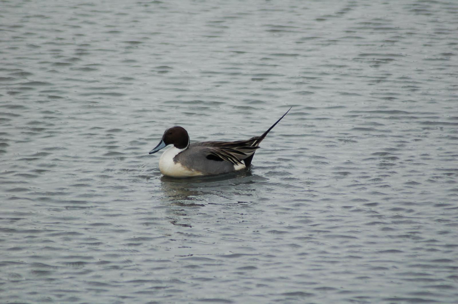 Northern Pintail Photo by Ken Shawcroft
