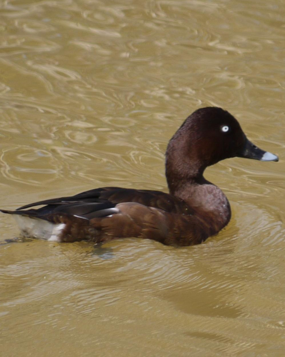 White-eyed Duck Photo by Peter Lowe