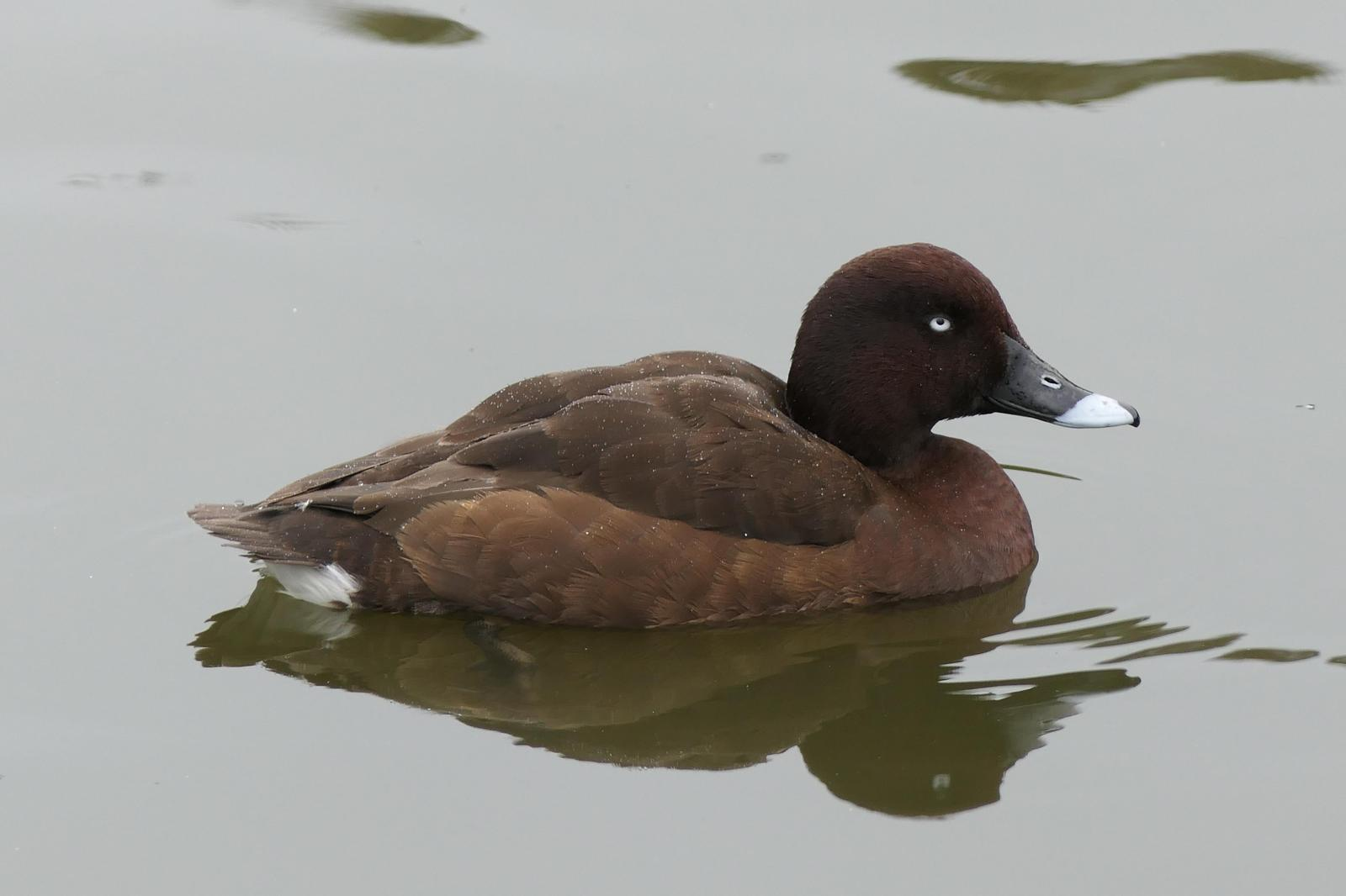 White-eyed Duck Photo by Randy Siebert