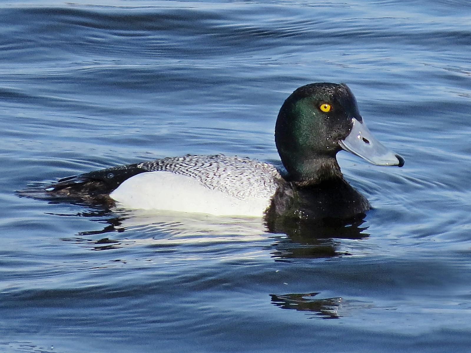 Greater Scaup Photo by Bob Neugebauer