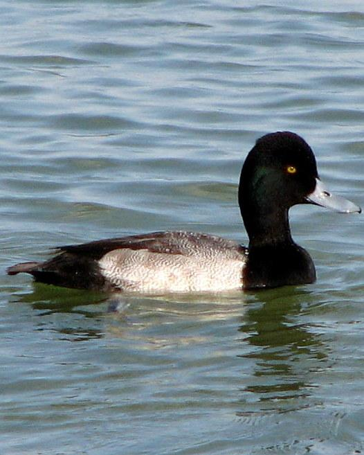 Lesser Scaup Photo by Anne Terry