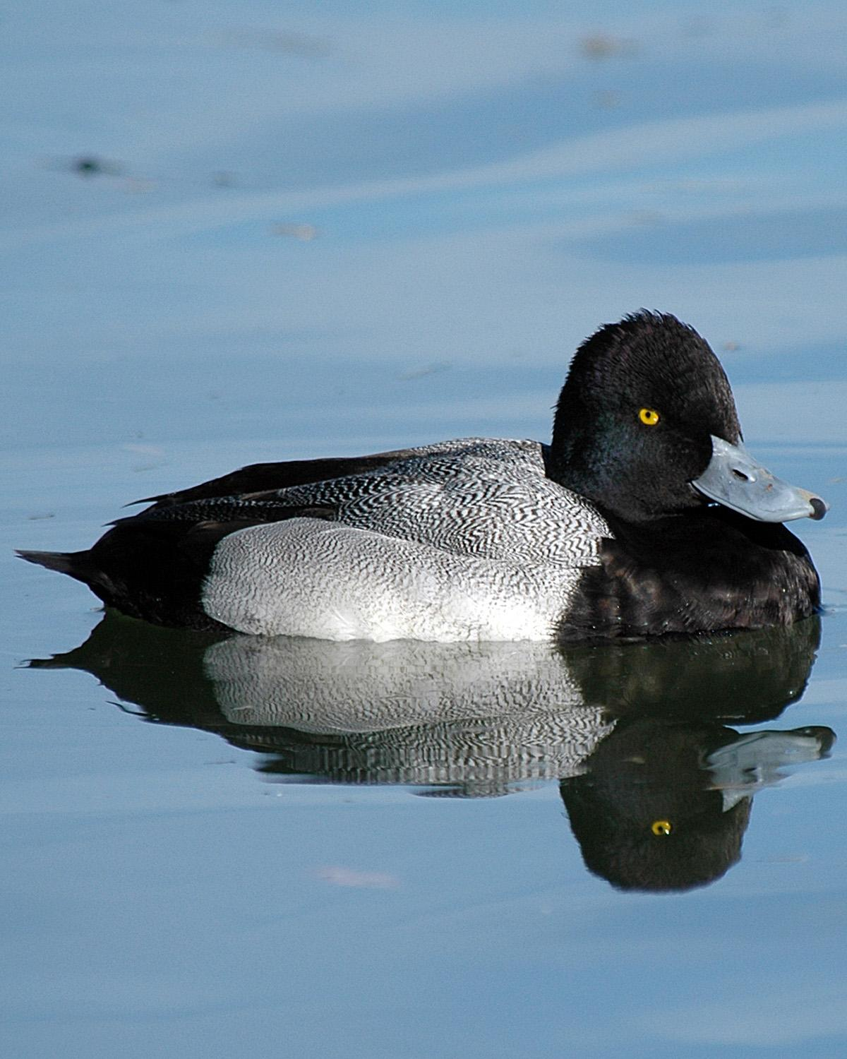 Lesser Scaup Photo by Magill Weber
