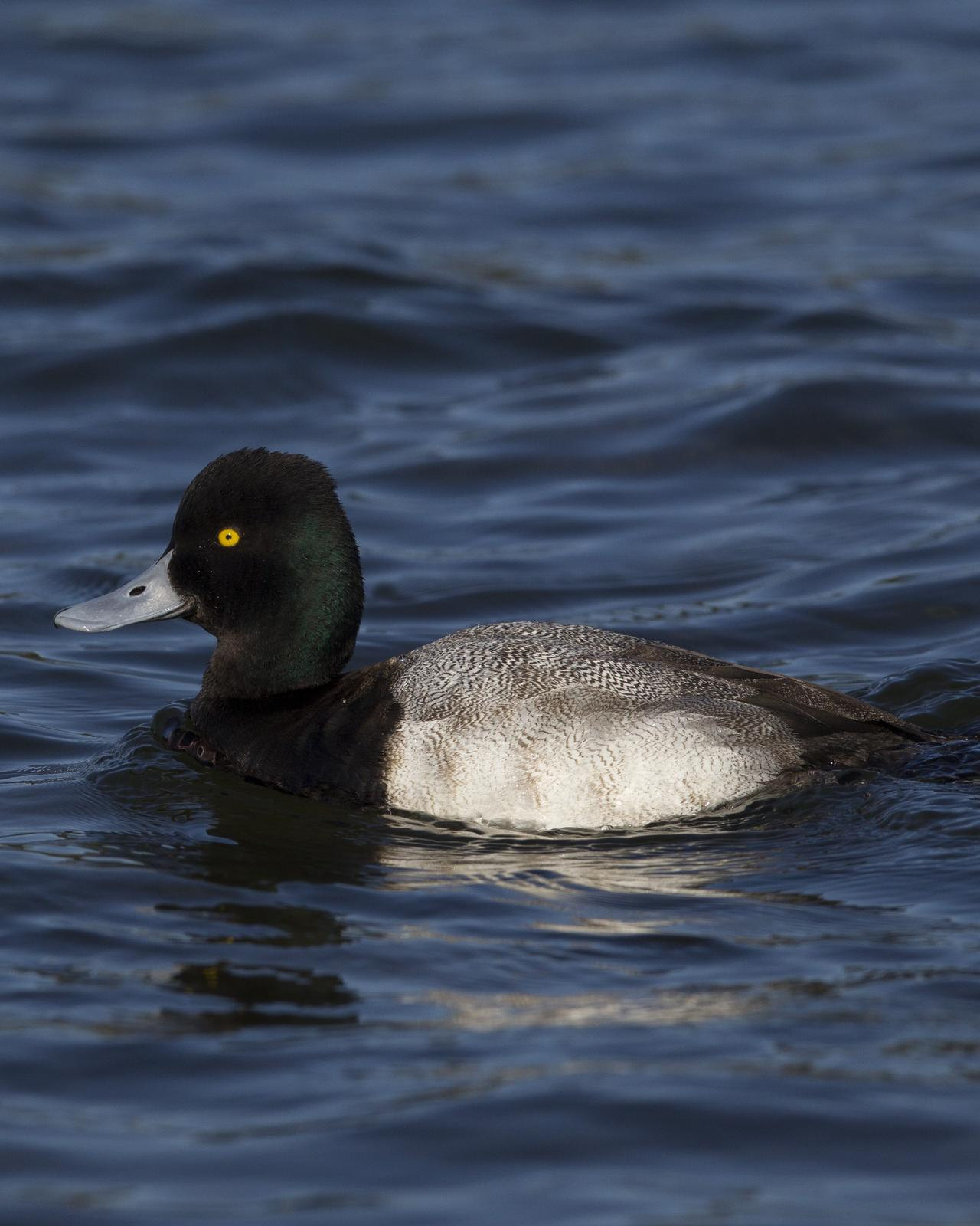 Lesser Scaup Photo by Jeff Moore