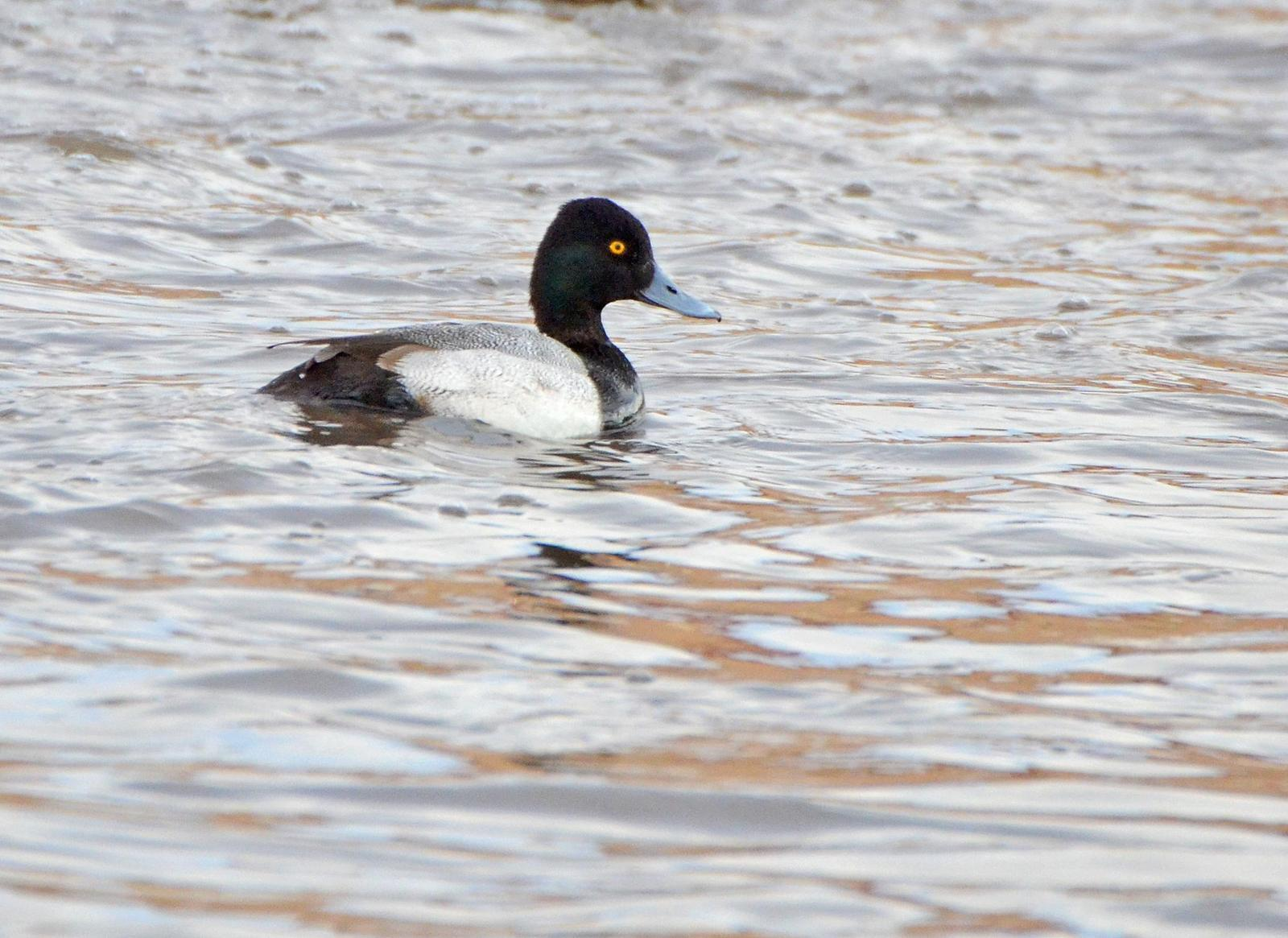 Lesser Scaup Photo by Steven Mlodinow