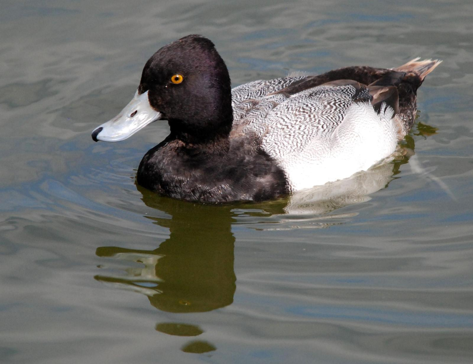 Lesser Scaup Photo by Carol Foil