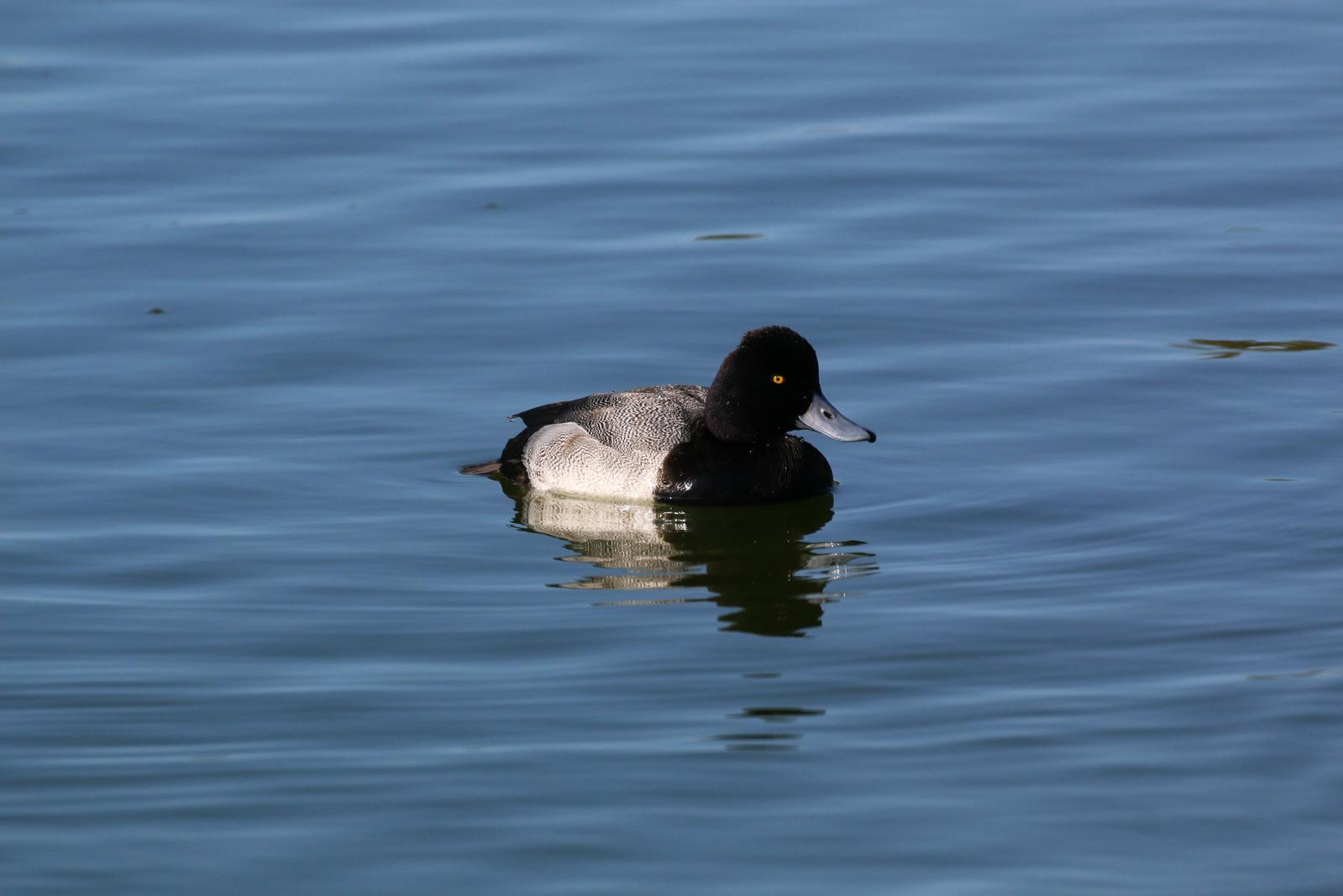 Lesser Scaup Photo by Richard Jeffers