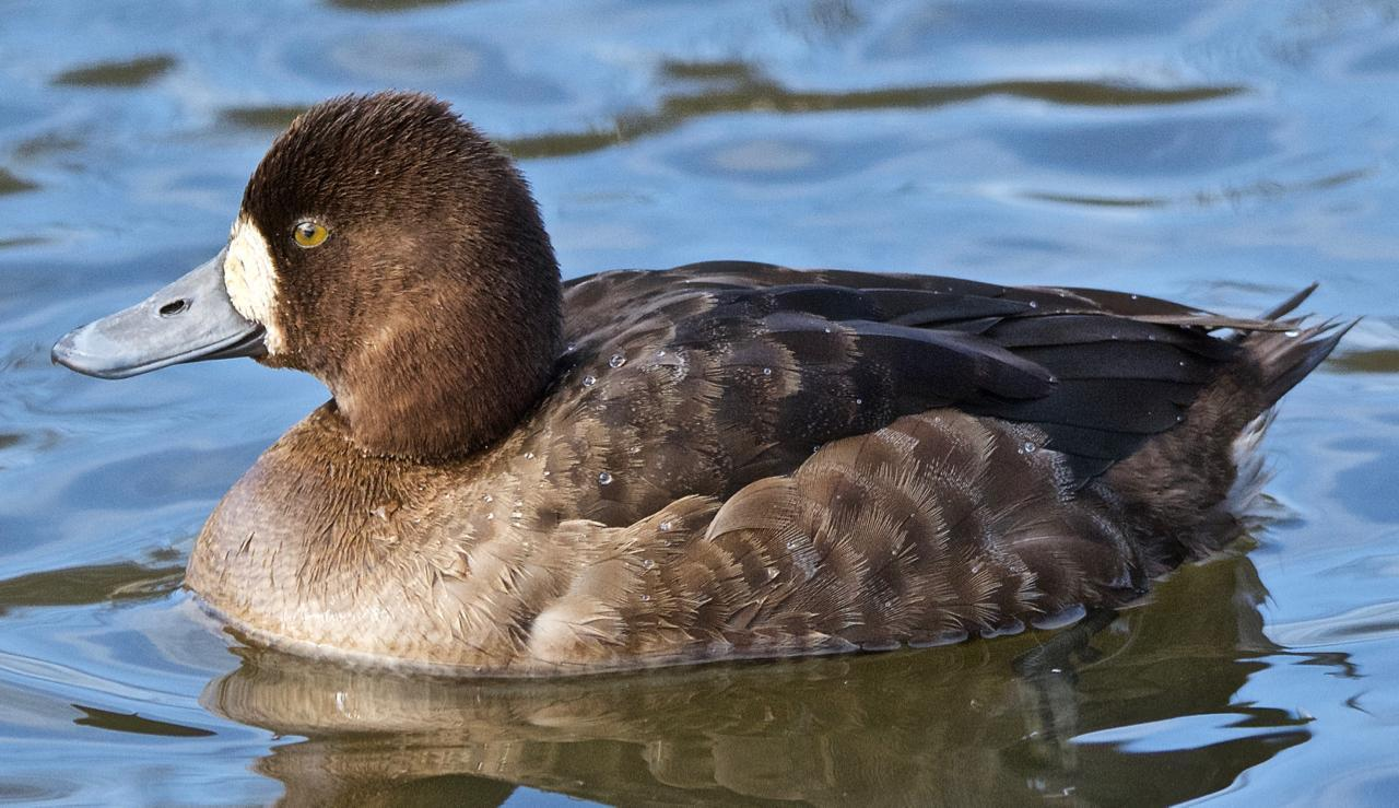 Lesser Scaup Photo by Brian Avent