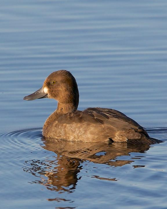 Lesser Scaup Photo by Denis Rivard