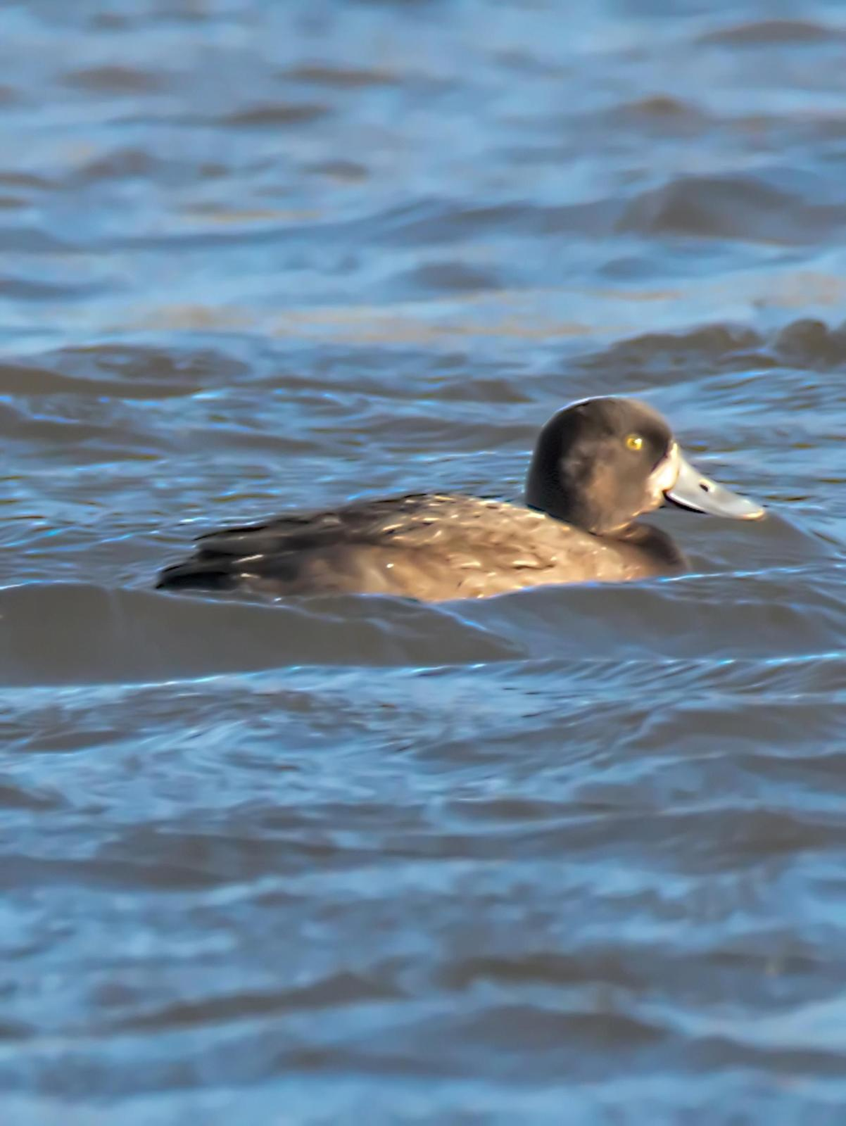 Lesser Scaup Photo by Dan Tallman