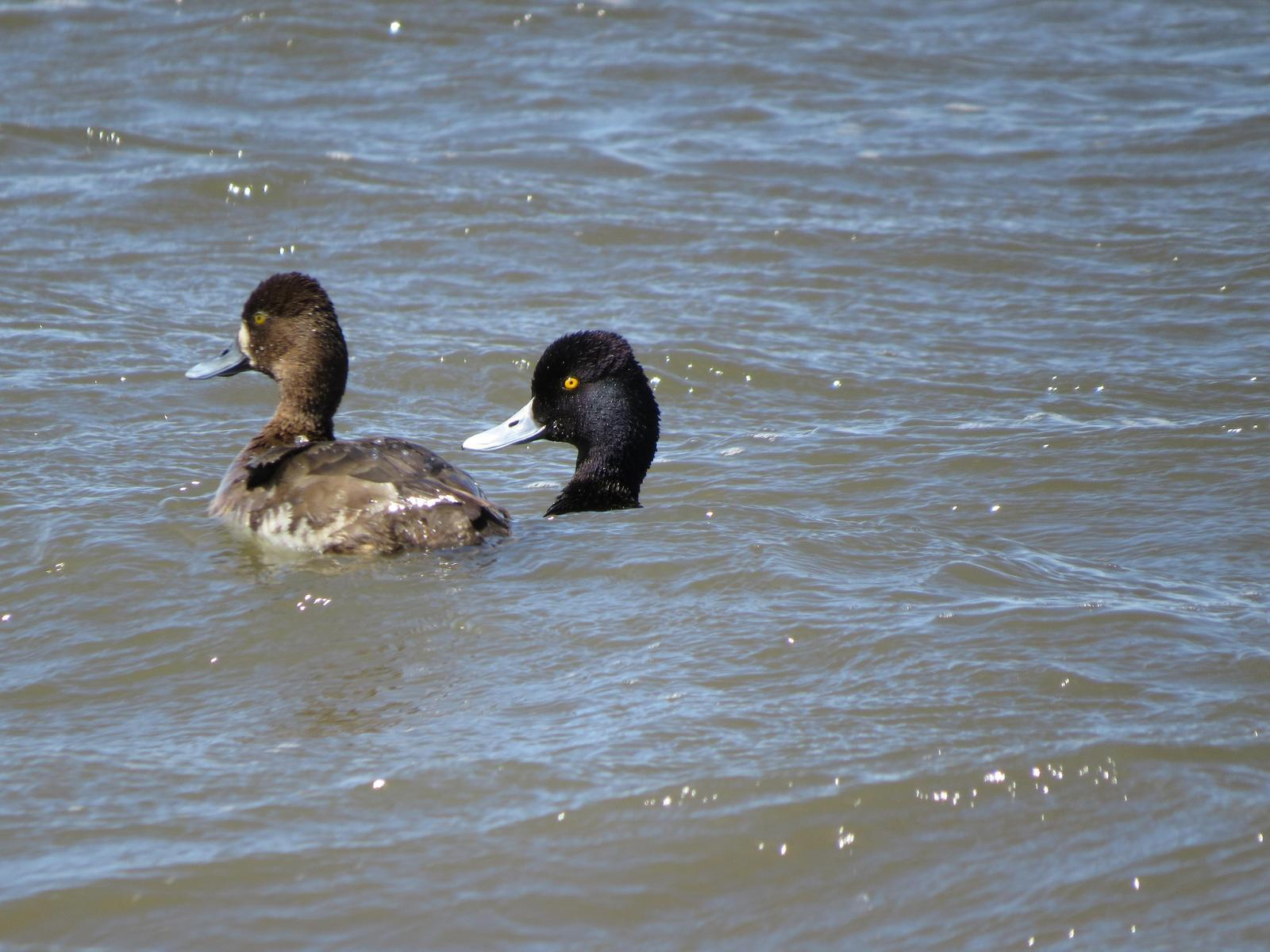 Lesser Scaup Photo by Kelly Preheim