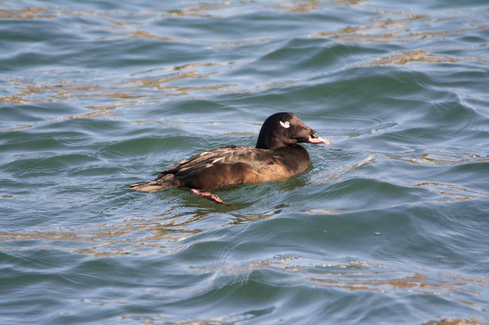 White-winged Scoter (North American) Photo by Brian Avent
