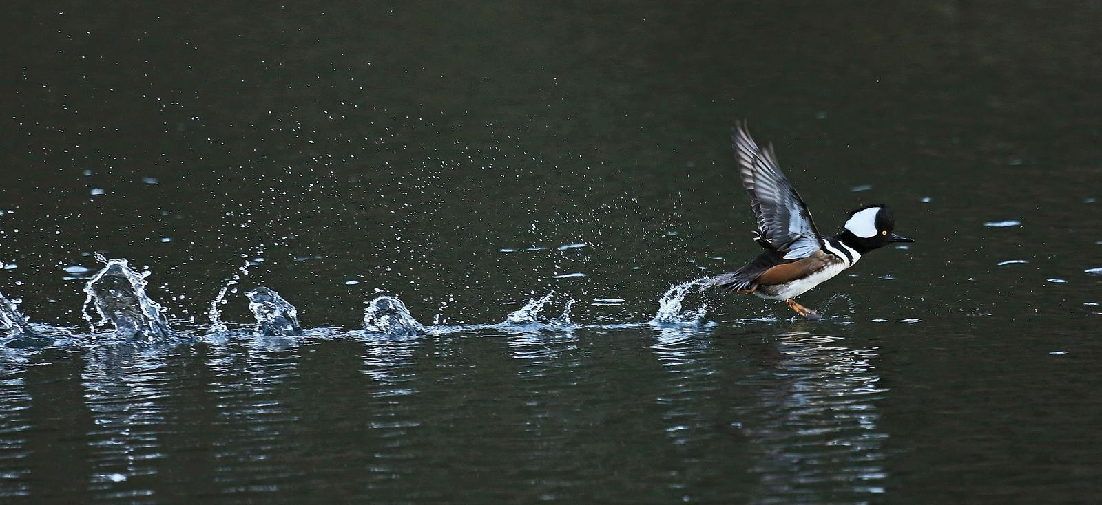 Hooded Merganser Photo by Jim  Murray