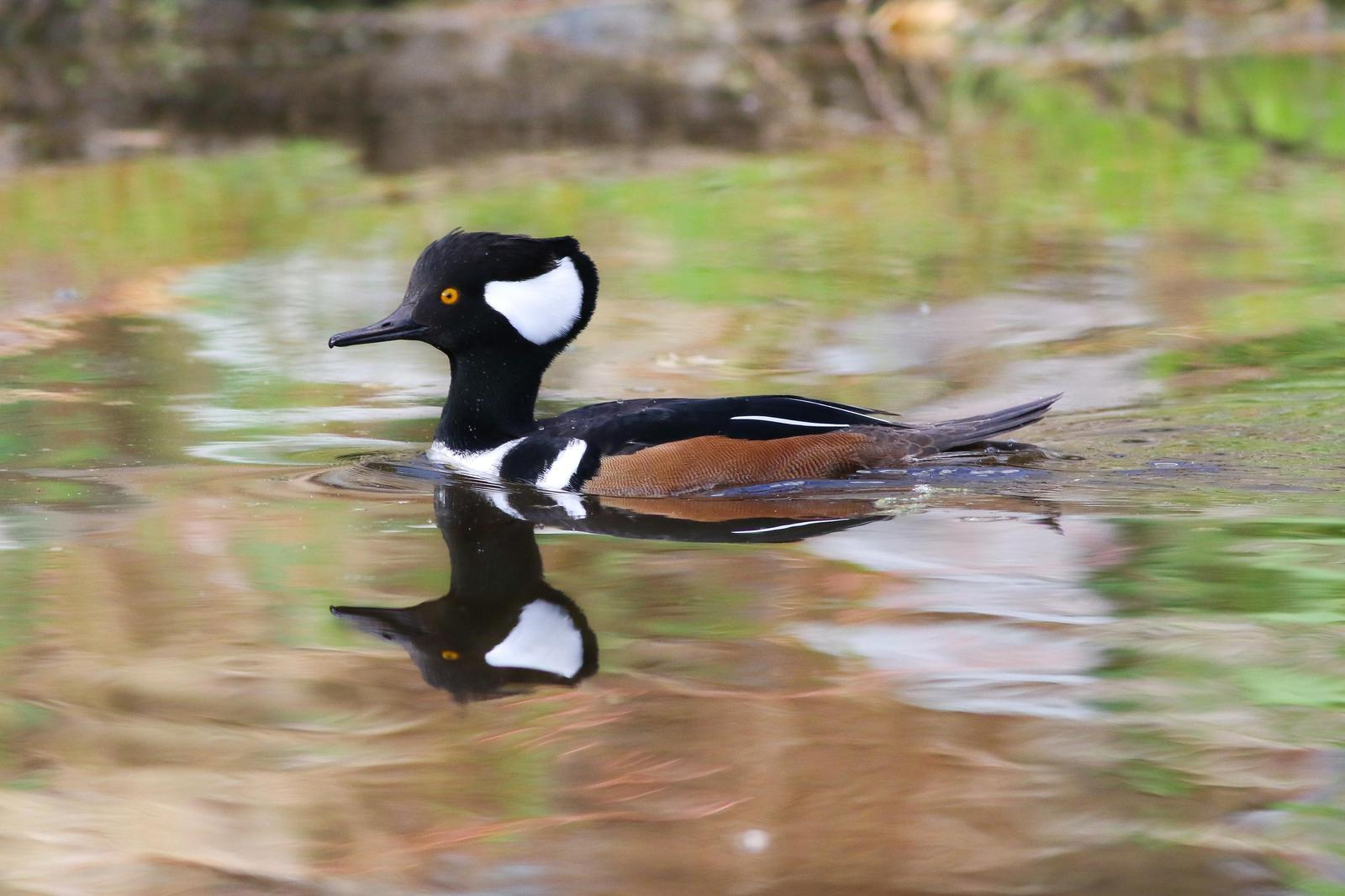 Hooded Merganser Photo by Tom Ford-Hutchinson