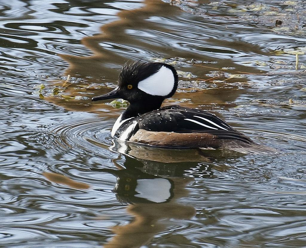 Hooded Merganser Photo by Vicki Miller