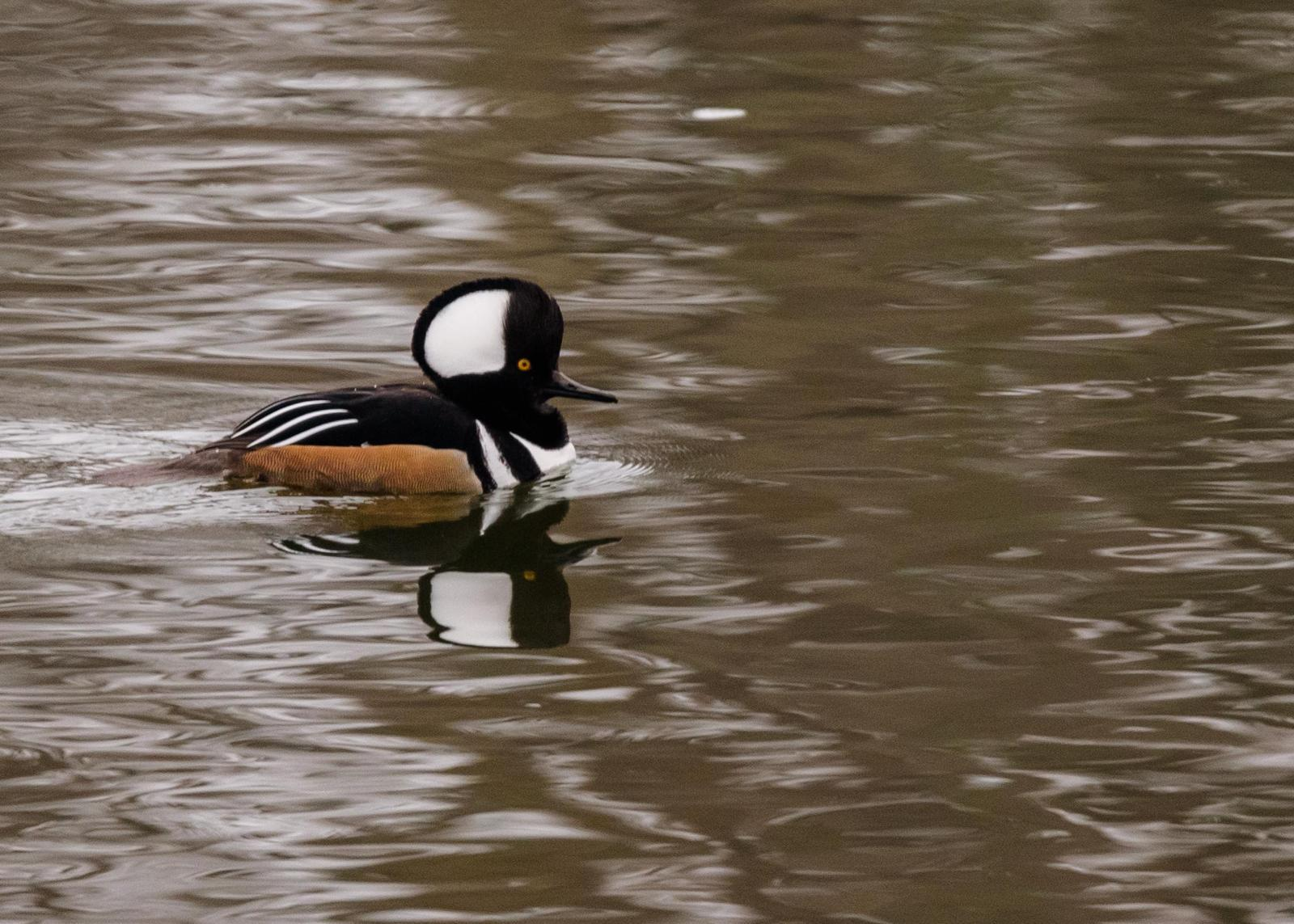 Hooded Merganser Photo by Keshava Mysore