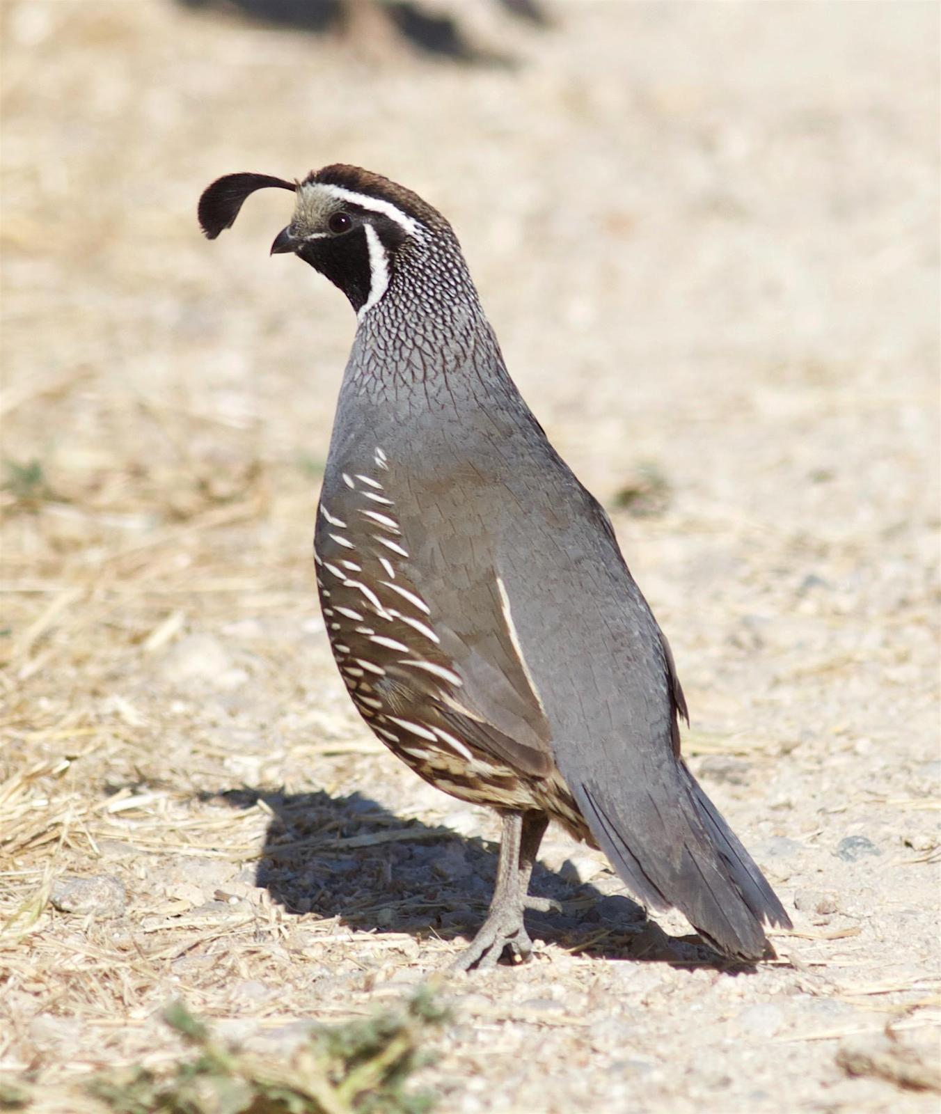 California Quail Photo by Kathryn Keith