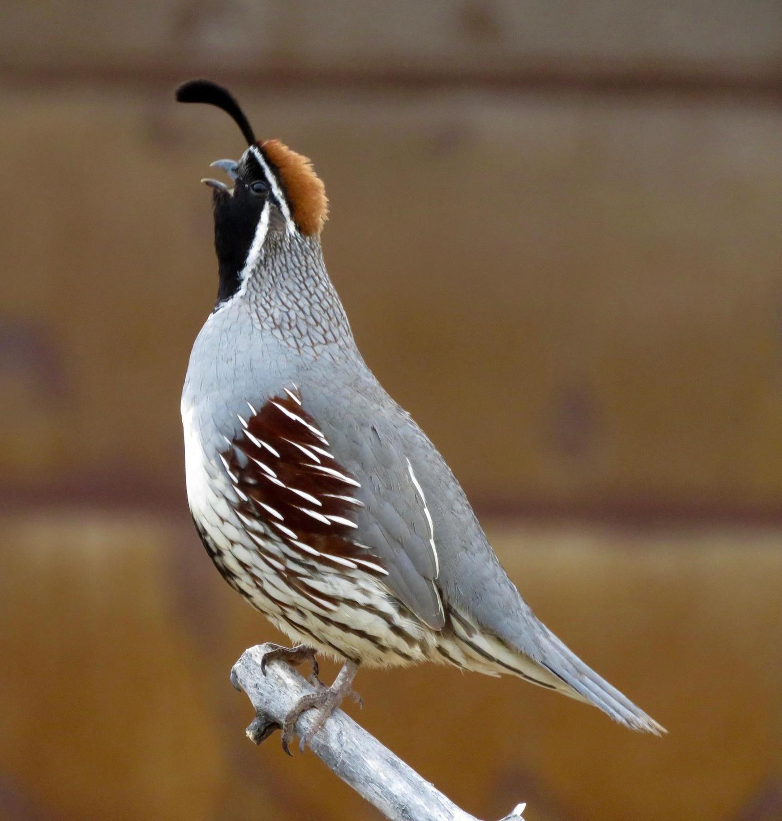 Gambel's Quail Photo by Don Glasco
