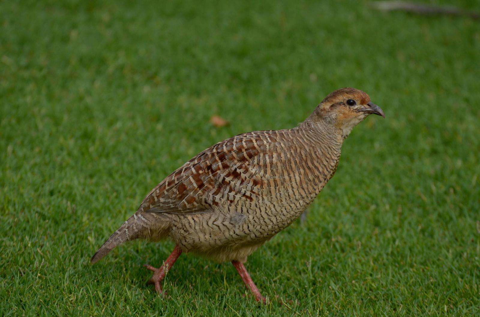 Gray Francolin Photo by Scott Yerges