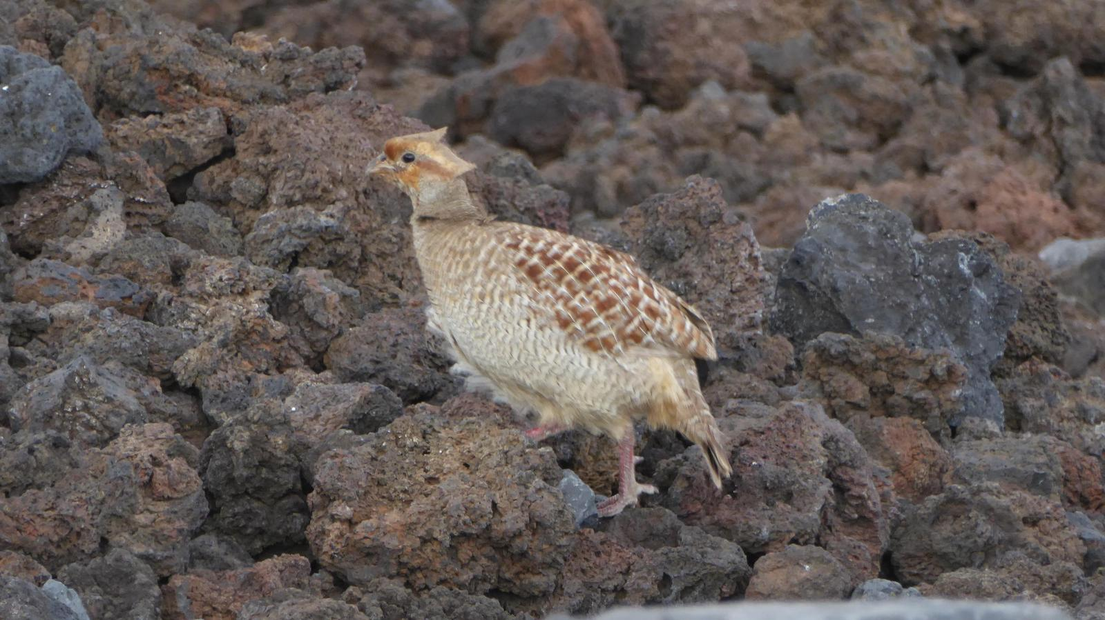 Gray Francolin Photo by Daliel Leite
