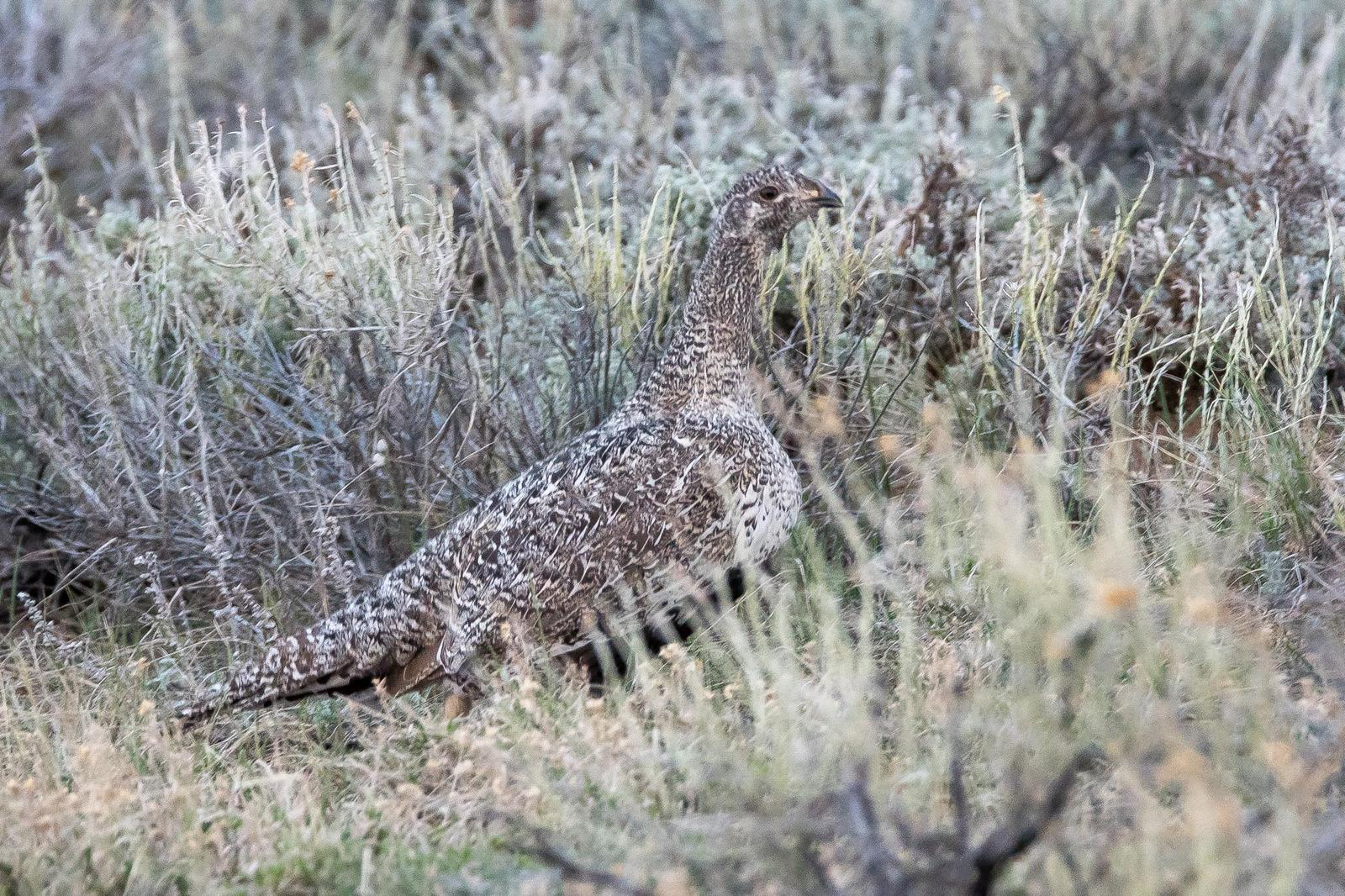 Greater Sage-Grouse Photo by Gerald Hoekstra