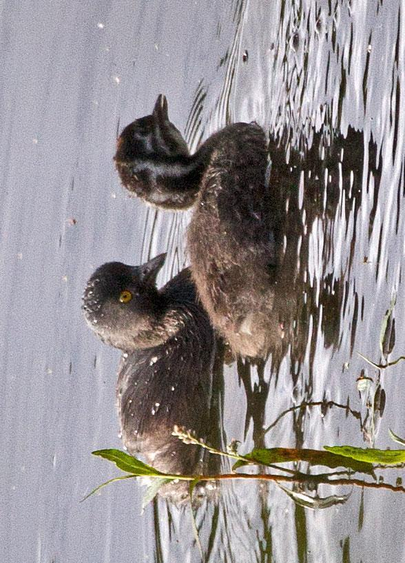 Least Grebe Photo by Scott Berglund