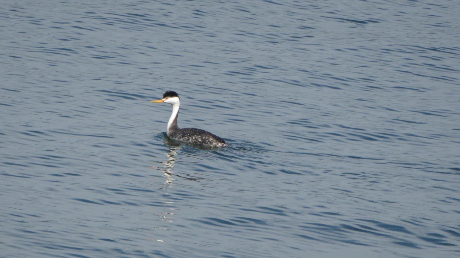 Clark's Grebe Photo by Daliel Leite