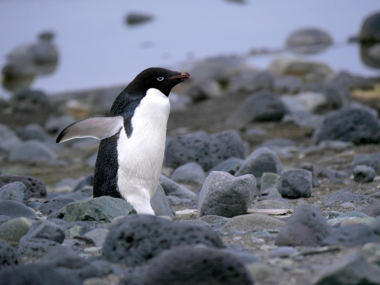 Adelie Penguin Photo by Peter Lowe