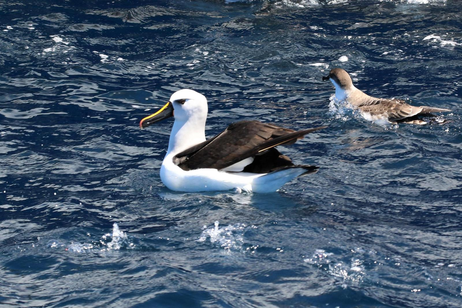Yellow-nosed Albatross (Atlantic) Photo by Richard Jeffers