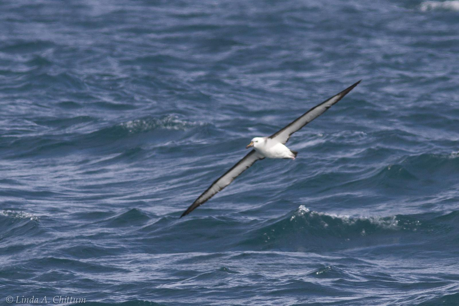Yellow-nosed Albatross (Atlantic) Photo by Linda Chittum