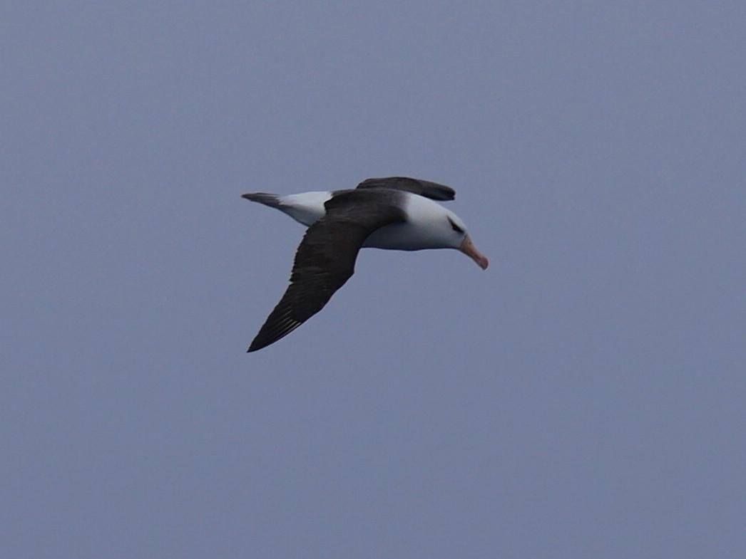 Black-browed Albatross Photo by Peter Lowe