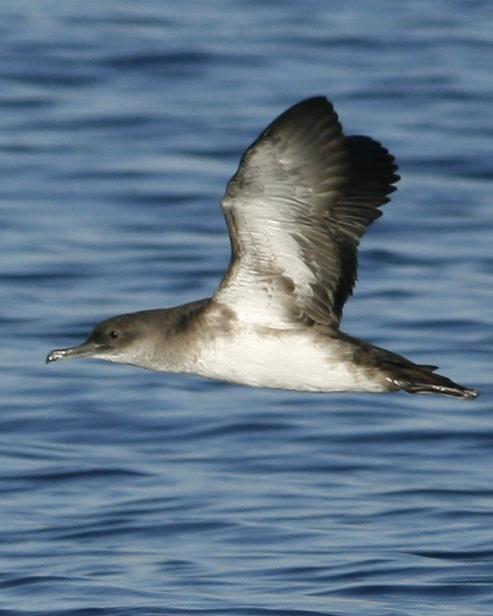 Black-vented Shearwater Photo by Oscar Johnson