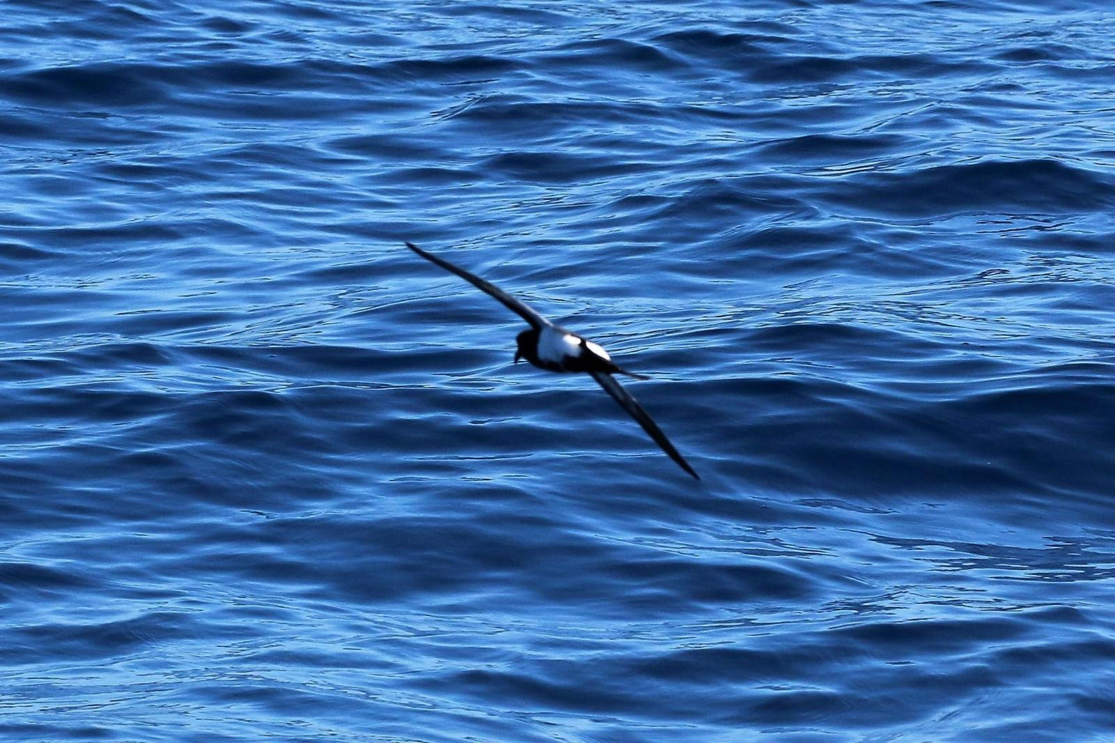 Black-bellied Storm-Petrel Photo by Richard Jeffers