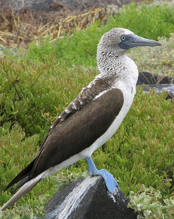 Blue-footed Booby Photo by Denis Rivard