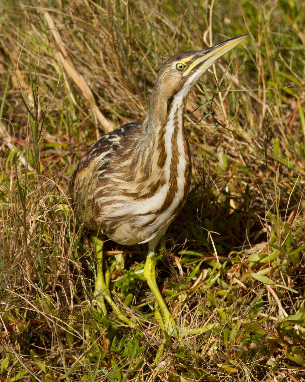 American Bittern Photo by JC Knoll