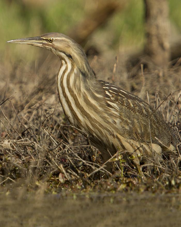 American Bittern Photo by Greg Pasek