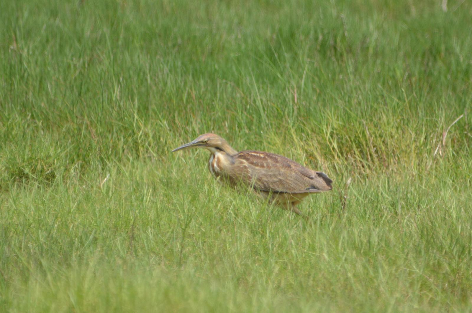 American Bittern Photo by Jeannette Piecznski